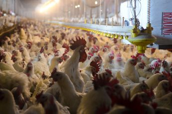 Big Chicken: Poultry Growers Fight for Fairness
